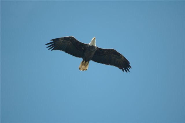 Bald Eagle soaring on deflective updrafts.
